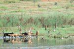 Le anatre preda dei cani nello stagno del Pantano Leone a Campobello di Mazara