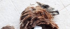 Nuovo atto di bracconaggio a Trapani, uccisa a fucilate una rara specie di aquila