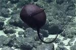 Questo pesce ripreso a nord-ovest delle Hawaii vive tra i 500 e i 7.500 metri di profondità