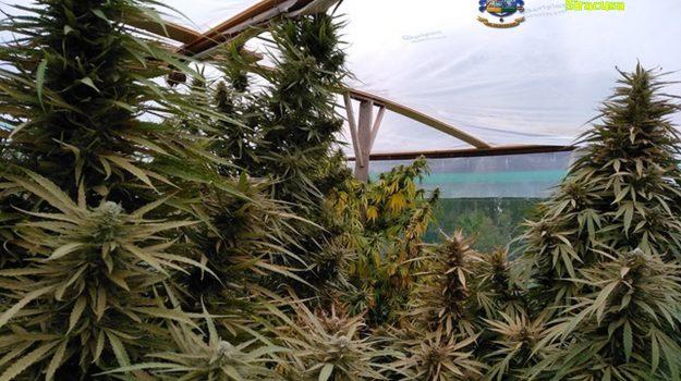 piantagione di marijuana a Siracusa, Siracusa, Cronaca