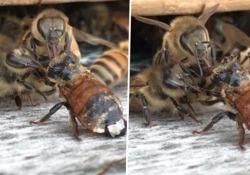 Api, miele e solidarietà: il video girato da un apicoltore negli Usa