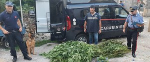 Pitbull di guardia alla marijuana nascosta nell'agrumeto, un arresto a Palermo
