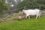 La mucca che va matta per il pallone: 3 milioni di click sui social