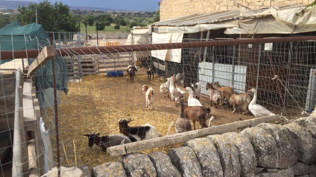 ovile nel parco comunale a Vittoria, parco comunale Serra San Bartolomeo a Vittoria, Ragusa, Cronaca