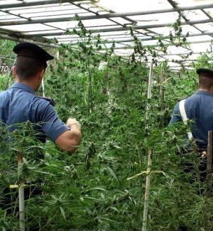 Una tonnellata di piante di marijuana tra gli ulivi a Ribera: due arresti