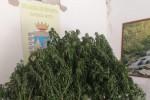 Le piante di canapa sequestrate dai finanzieri