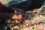Raffadali Fastuca Fest 2018, il pistacchio simbolo di un paese