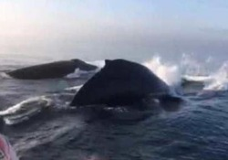 Un gruppo di turisti al largo delle coste canadesi si imbatte nelle tre megattere che nuotano a pochi metri dalla barca