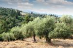 Crolla la produzione di olio in Sicilia nel 2018: punte 80% in meno in provincia di Palermo
