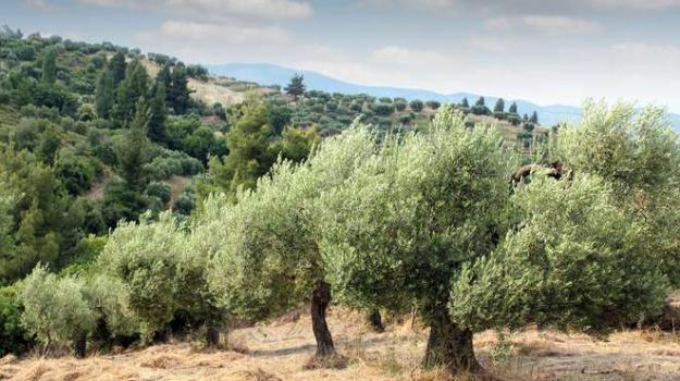 Olio Sicilia, produzione olio Sicilia, Palermo, Economia