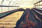 La serra dove viene appassita l'uva