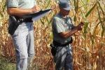 Agricoltura: non c'è mais Ogm nelle Marche
