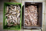 Essere Animali denuncia, nei supermercati pesce maltrattato