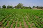 Un campo coltivato (fonte: Pxhere)
