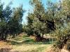 Olio: Salov-Cnr insieme per sostenibilità coltivazioni