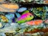 La nuova specie di pesci, Tosanoides aphrodite, scoperta nella zona del crepuscolo della barriera corallina (fonte: Luiz Rocha © 2018 California Academy of Sciences)
