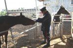 Lanciano un cavallo al galoppo nella circonvallazione di Monreale: denunciate tre persone