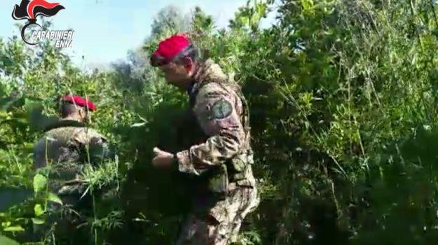 piantagione marijuana a Centuripe, Enna, Cronaca
