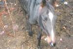 Animali maltrattati a Mascali, requisiti 90 capi di bestiame