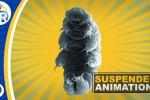 I tardigradi, detti anche orsi d'acqua, che comprende più di mille specie diverse (fonte: The American Chemical Society)