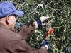 Campagna olivicola, al Sud perdite del 90% e -1 mln di giornate lavorative