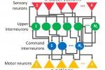 La rete neurale ispirata a quella di C. elegans; la figura mostra le interconnessioni tra i nodi della rete (Fonte: Vienna University of Technology)