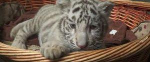 Nati in Cina 3 cuccioli di tigre dalla pelliccia bianca e gli occhi blu: è una variante molto rara