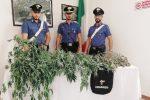 Coltivavano una piantagione di cannabis in casa, due arresti a Sommatino