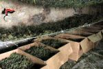 Maxi sequestro di marijuana nelle campagne agrigentine: oltre 30 tonnellate, il video della piantagione