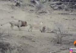 La scena ripresa nel parco nazionale Kruger, in Sudafrica