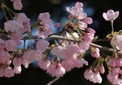 L'autunno nel Paese del Sol Levante si è fermato: i ciliegi sono di nuovo in fiore