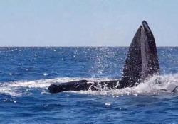Il raro comportamento del cetaceo avvistato al largo della costa australiana