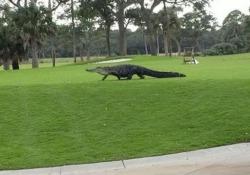 Metti una partita a golf con un alligatore: è quanto è successo a Kiawah Island, in Carolina del Sud