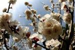 Xylella: in Spagna primo albicocco infetto in Europa