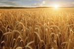 Agricoltura: nuove qualità di grano brevettate in Sardegna