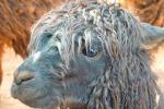 Da un anticorpo scoperto nei lama un vaccino jolly contro l'influenza (fonte: Picryl, Public Domain CC0)
