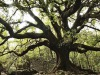 Si arricchisce lElenco degli alberi Monumentali dItalia