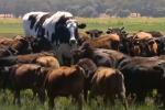 Australia, mucca gigante si salva dal macello: la sua storia commuove il web