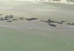 Il branco individuato da un escursionista: alcuni esemplari erano già morti, altri sono stati abbattuti