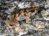 Terapia ormonale contro rischio estinzione rana in Australia