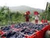 Vino: Confagricoltura, buona qualità uva in Piemonte