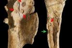 Tracce di morsi (in verde) sulle ossa del dinosauro Saltriovenator e tracce  prodotte da pesci e invertebrati marini (in rosso) (fonte: Giovanni Bindellini)