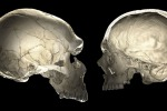Il cranio dei Neanderthal (a sinistra) a confronto con quello dell'uomo moderno (fonte: Philipp Gunz)