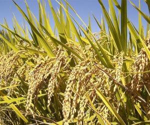 Ottenuti i primi cloni del riso da semi (fonte: Korea_0001/Flickr)