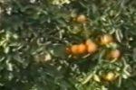 Arance di Ribera, annata record: registrato un aumento del 25%