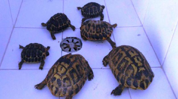 arresto droga, pozzallo, tartarughe testudo hermanni, Ragusa, Cronaca