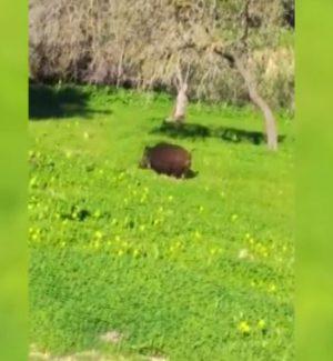 """Cinghiali a spasso nella Valle dei Templi, il video di Mareamico: """"Pericolo per i turisti"""""""
