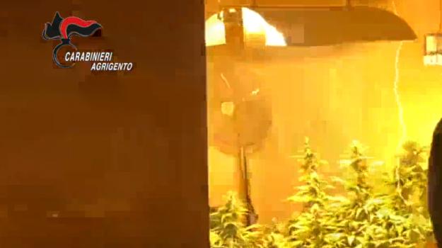 serra marijuana campobello di licata, Agrigento, Cronaca