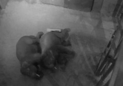 Gli elefanti dello zoo di Denver si raggomitolano prima di addormentarsi