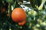 Tutela contro la contraffazione, ecco il bollino tech per l'arancia rossa di Sicilia IGP